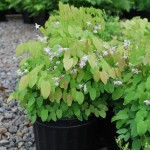 EPIMEDIUM X ROSEUM Barrenwort
