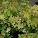 EPIMEDIUM Y NIVEUM Barrenwort