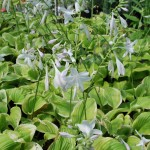 HOSTA FRAGRANT BOUQUET