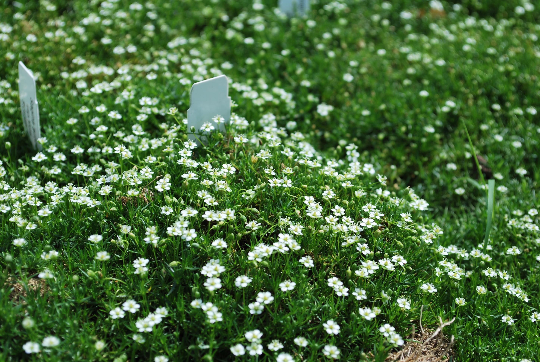 How to grow irish moss ground cover -  Sagina Subulata Irish Moss