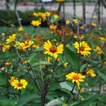 HELIOPSIS HELIANTHOIDES SUMMER NIGHTS False Sunflower