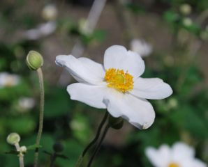Ever plant japanese anemone common name windflower size 24 36 includes flower height interest 2 4 single flowers with yellow centers petals are white pink or lilac nice mightylinksfo