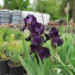 IRIS GERMANICA SUPERSTITION German Iris
