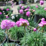 ARMERIA MARITIMA SPLENDENS  Sea Thrift