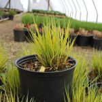 CAREX ELATA BOWLES GOLDEN Sedge