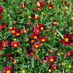 COREOPSIS MERCURY RISING Tickseed