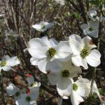 CORNUS FLORIDA CHEROKEE PRINCESS Flowering Dogwood