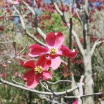 CORNUS FLORIDA RUBRA Flowering Dogwood