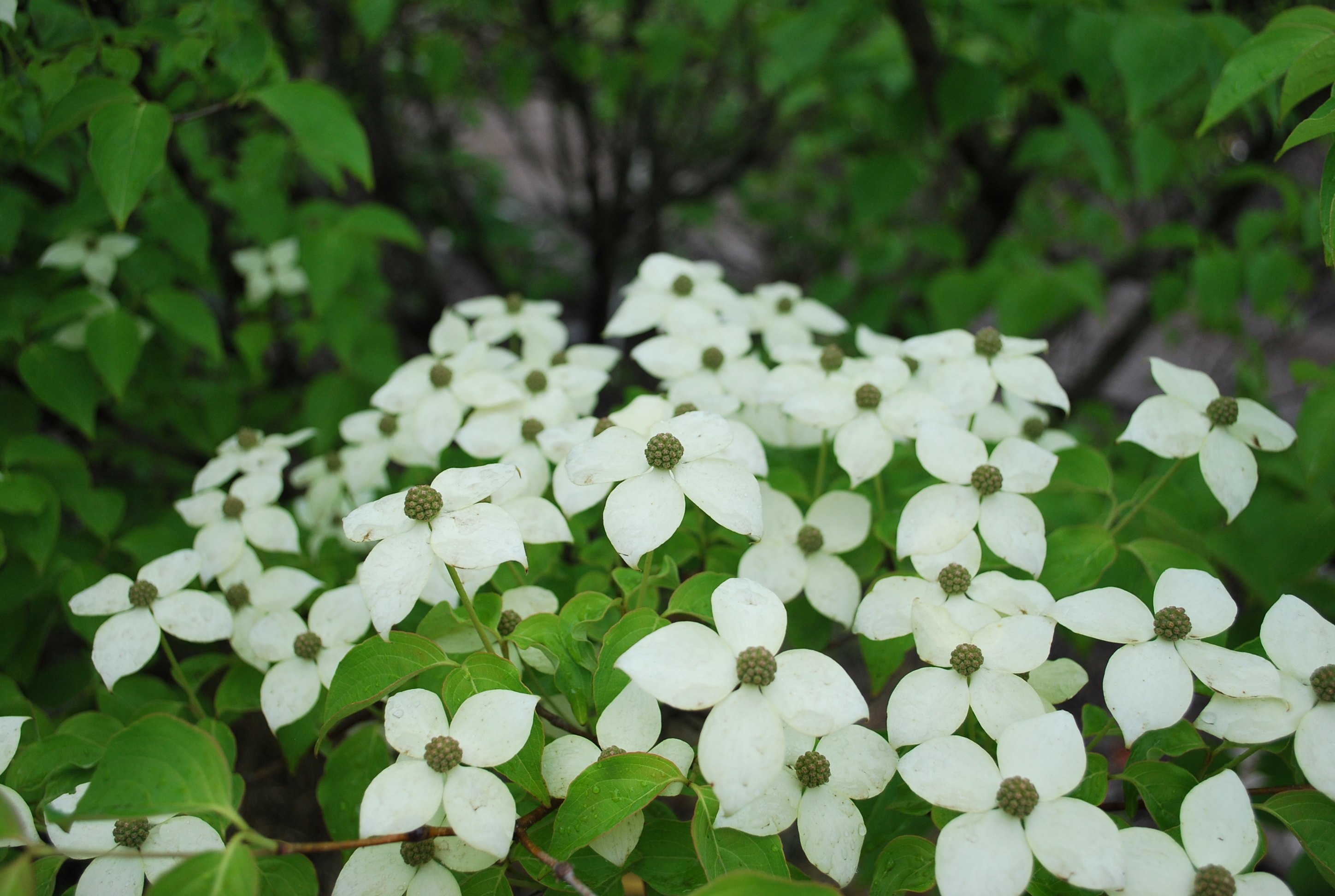 cornus kousa satomi seeds edible garden kousa dogwood 50. Black Bedroom Furniture Sets. Home Design Ideas