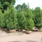 CRYPTOMERIA JAPONICA YOSHINO Japanese Cedar