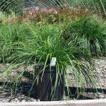 DESCHAMPSIA CAESPITOSA  Tufted Hair Grass