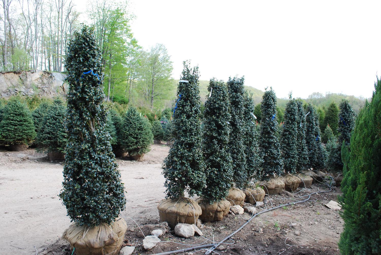 Evergreen Shrubs Planters Choice