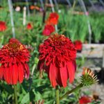 ECHINACEA X HOT PAPAYA   Coneflower