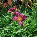 HEMEROCALLIS LITTLE GRAPETTE Daylily