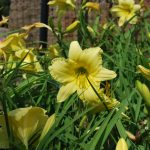 HEMEROCALLIS BIGTIME HAPPY Daylily