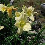 HEMEROCALLIS JOAN SENIOR Daylily