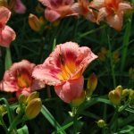 HEMEROCALLIS STRAWBERRY CANDY Daylily