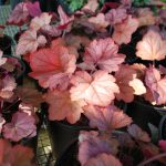 HEUCHERA GEORGIA PEACH Coral Bells
