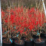 ILEX VERTICILATA RED SPRITE Winterberry