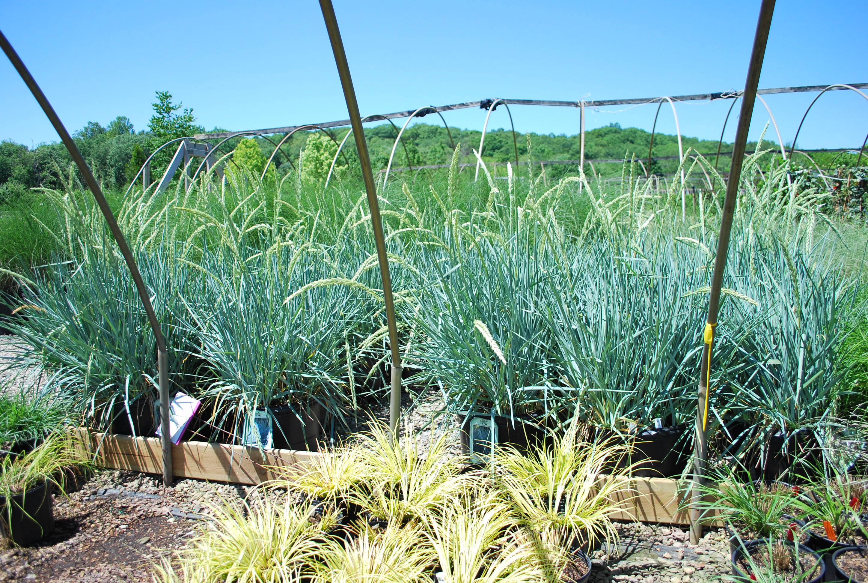 Blue dune lyme grass -  Leymus Arenius Blue Dune Blue Lyme Grass