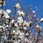 MAGNOLIA STELLATA WATERLILY Star Magnolia