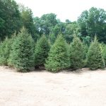 PICEA ABIES 8-10 FT Norway Spruce