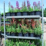 PENSTEMON X RED AND PURPLE RIDING HOOD Beardtongue