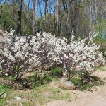 PRUNUS MARITIMA Beach Plum