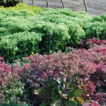 SEDUM MATRONA in foreground and BRILLIANT Stonecrop