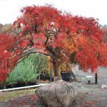 ACER PALMATUM Japanese Maple fall color