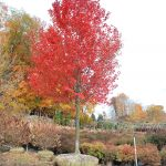 ACER RUBRUM OCTOBER GLORY Swamp Maple