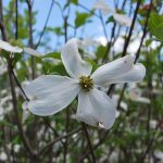 CORNUS FLORIDA CLOUD 9 Flowering Dogwood