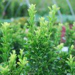 EUONYMUS JAPONICA GREENSPIRE Greenspire Euonymus