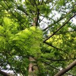 METASEQUOIA GLYPTOSTROBOIDES OGON Golden Dawn Redwood