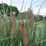 PENNISETUM ALOPECUROIDES FOXTROT  Giant Fountain Grass
