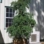 STYRAX JAPONICA FRAGRANT FOUNTAIN Weeping Japanese Snowbell