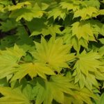 ACER SHIRASAWANUM AUREUM Full Moon Maple