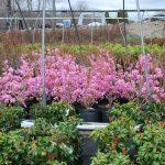 AZALEA MUCRONULATUM Cornell Pink Azalea
