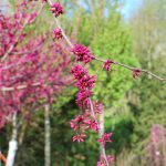 CERCIS CANADENSIS APPALACHIAN RED Eastern Redbud