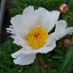 PAEONIA LACTIFLORA KRINKLED WHITE Herbaceous Peony