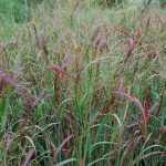PANICUM VIRGATUM Heavy Metal Switchgrass
