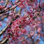 PRUNUS SARGENTII RANCHO Flowering Cherry