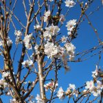 PRUNUS X YEDOENSIS YOSHINO FLOWERING CHERRY