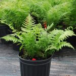 THEYLPTERIS NOVEBORACENSIS New York Fern