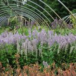 AGASTACHE x BLUE FORTUNE Anise Hyssop