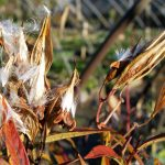 ASCLEPIAS INCARNATA Swamp Milk Weed in seed