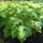 HEUCHERA X CATCHING FIRE Coral Bells