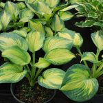 HOSTA BROTHER STEFAN Hosta