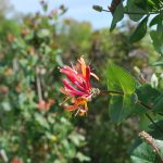 LONICERA HECKROTTI GOLD FLAME Honeysuckle