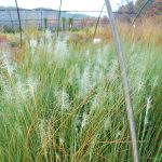 MMUHLENBERGIA CAPILLARIS 'WHITE CLOUD'  Muhly Grass